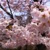 頑張れ東北、桜の名所弘前公園の見頃は連休後半だからまだ間に合う!