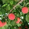 福島はフルーツ王国。旬の果物を食べに行こう。