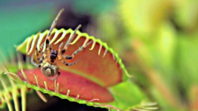 """食虫植物がクモを""""食べる""""瞬間の動画"""