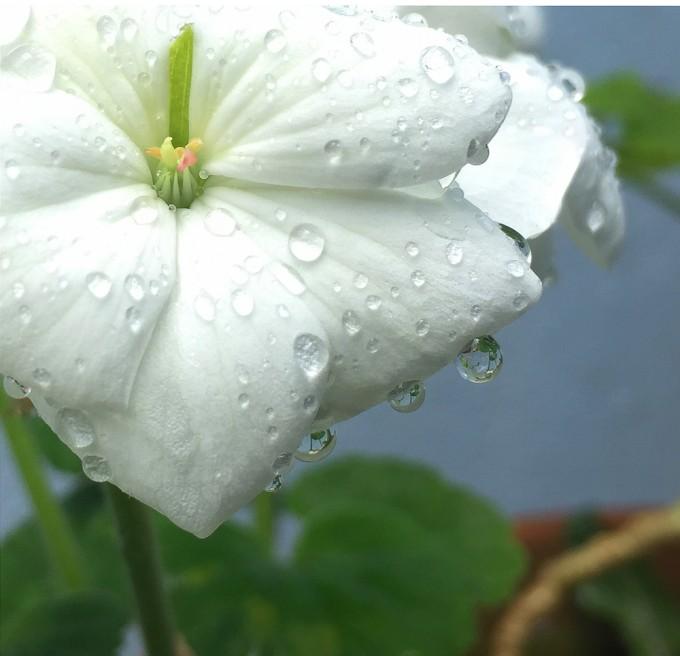 drips-on-petals